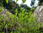 Plantación de coca - Foto: Bram Ebus.