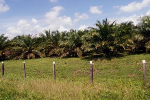 En Guatemala, luegos de los acuerdos de paz se extendió la agroindustria de cultivos como la palma aceitera. Algo similar puede pasar en Colombia. Foto: Omar Vera.